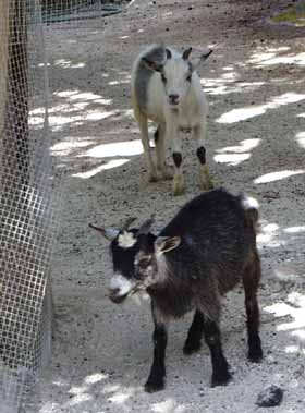 Baby Goats at Garden of the Groves